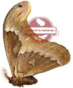 Attacus soembaensis (A2)
