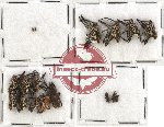 Scientific lot no. 175 Curculionidae (18 pcs)