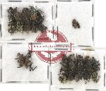Scientific lot no. 177 Curculionidae (24 pcs)