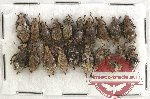 Scientific lot no. 173 Curculionidae (20 pcs)