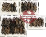 Scientific lot no. 167 Curculionidae (30 pcs)