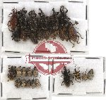 Scientific lot no. 178 Curculionidae (29 pcs)
