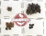 Scientific lot no. 171 Curculionidae (47 pcs)