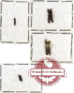 Colydidae Scientific lot no. 4 (7 pcs)