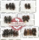 Scientific lot no. 11 Lagriidae (26 pcs A-, A2)