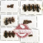 Scientific lot no. 30 Dytiscidae (37 pcs)