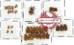 Scientific lot no. 129 Chrysomelidae (36 pcs)