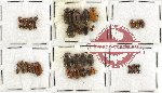Scientific lot no. 126 Chrysomelidae (50 pcs)