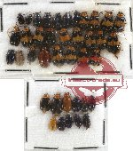 Scientific lot no. 134 Chrysomelidae (39 pcs)