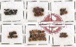 Scientific lot no. 149 Chrysomelidae (89 pcs)