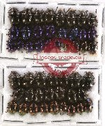 Scientific lot no. 122 Chrysomelidae (49 pcs)