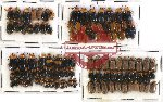 Scientific lot no. 115 Chrysomelidae (106 pcs)