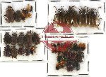 Scientific lot no. 112 Chrysomelidae (49 pcs)