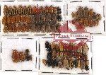 Scientific lot no. 84 Chrysomelidae (92 pcs)
