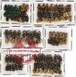 Scientific lot no. 144 Chrysomelidae (114 pcs)
