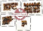 Scientific lot no. 113 Chrysomelidae (100 pcs)