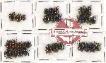 Scientific lot no. 124 Chrysomelidae (30 pcs)