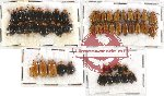 Scientific lot no. 131 Chrysomelidae (50 pcs)