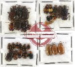 Scientific lot no. 111 Chrysomelidae (33 pcs)