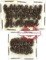 Scientific lot no. 127 Chrysomelidae (38 pcs)