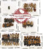 Scientific lot no. 147 Chrysomelidae (75 pcs)