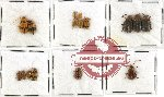 Scientific lot no. 136 Chrysomelidae (16 pcs)