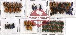 Scientific lot no. 109 Chrysomelidae (81 pcs)