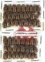 Scientific lot no. 117 Chrysomelidae (52 pcs)
