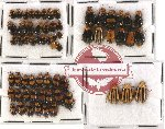 Scientific lot no. 116 Chrysomelidae (63 pcs)