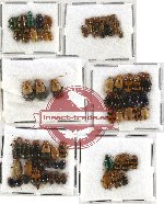 Scientific lot no. 141 Chrysomelidae (84 pcs)