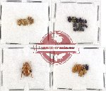 Scientific lot no. 118 Chrysomelidae (32 pcs)