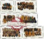 Scientific lot no. 142 Chrysomelidae (112 pcs)