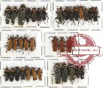 Scientific lot no. 11A Cantharidae (35 pcs A-, A2)