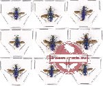 Chrysididae scientific lot no. 6A (9 pcs A, A-, A2)