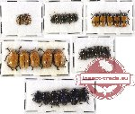 Scientific lot no. 151 Chrysomelidae (27 pcs)