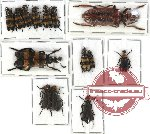 Scientific lot no. 24 Meloidae (14 pcs)