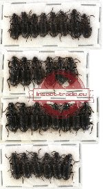 Scientific lot no. 2 Paussidae (Pseudozaena sp.) (28 pcs)