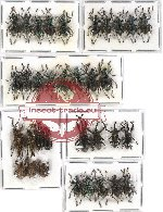 Scientific lot no. 179 Curculionidae (34 pcs)