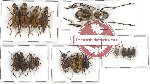Scientific lot no. 155 Anthribidae (17 pcs)