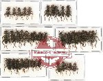 Scientific lot no. 21 Cleridae (45 pcs)