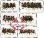 Scientific lot no. 20 Cleridae (40 pcs)