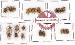 Scientific lot no. 18 Hopliinae (23 pcs)