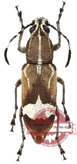 Anthribidae sp. 8