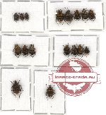 Scientific lot no. 17 Valginae (17 pcs)