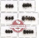 Scientific lot no. 16 Valginae (22 pcs - 7 pcs A2)