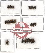 Scientific lot no. 15 Valginae (21 pcs - 5 pcs A2)