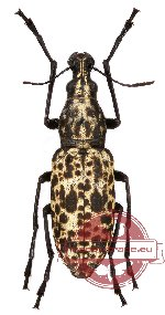 Mecotropis insignis Pascoe, 1862
