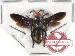 Scoliidae sp. 17 (10 pcs)