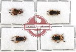 Scientific lot no. 155 Chrysomelidae (4 pcs)
