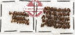 Anthicidae Scientific lot no. 17 (119 pcs)